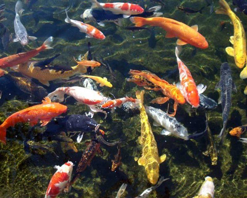 Cải tạo hồ cá Koi giá rẻ uy tín tạo môi trường sống tốt cho cá Koi.