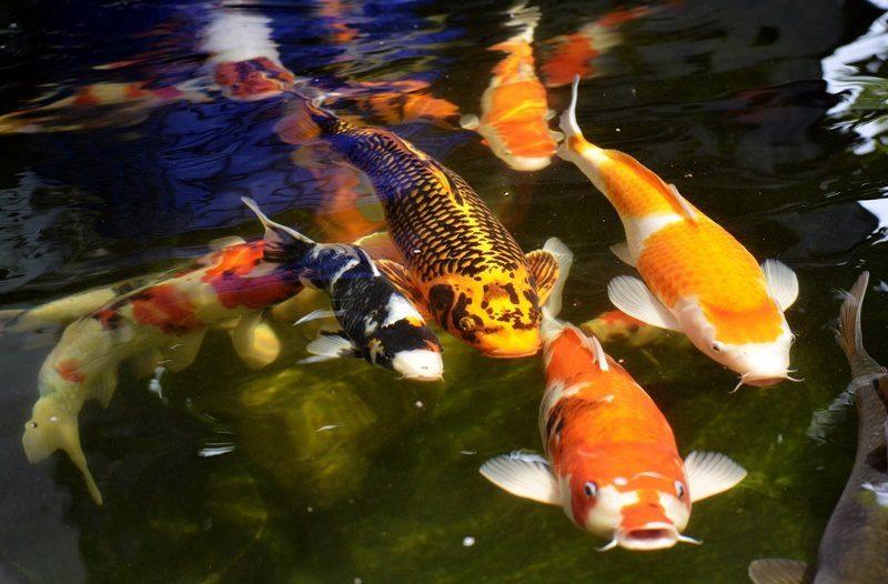 Cải tạo hồ cá Koi giá tốt thi công trên toàn quốc.