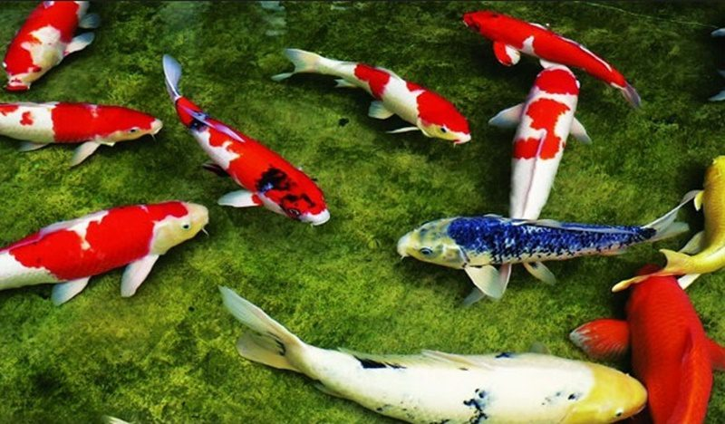 Cải tạo lọc hồ cá Koi chuyên nghiệp giá tốt nhất trên toàn quốc.
