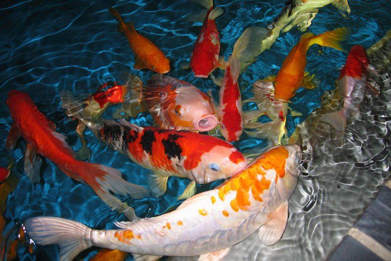Cải tạo lọc hồ cá koi sạch đẹp sẽ tạo môi trường tốt cho cá Koi sống khoẻ.