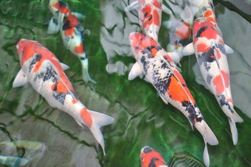 Cải tạo lọc hồ cá koi uy tín giá tốt