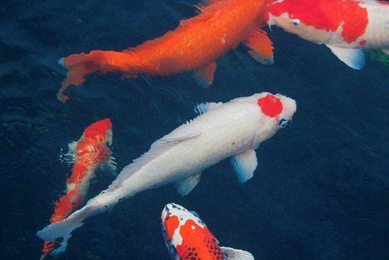 Hệ thống Cải tạo lọc hồ cá koi tốt sẽ tạo môi trường sống tốt cho cá koi.