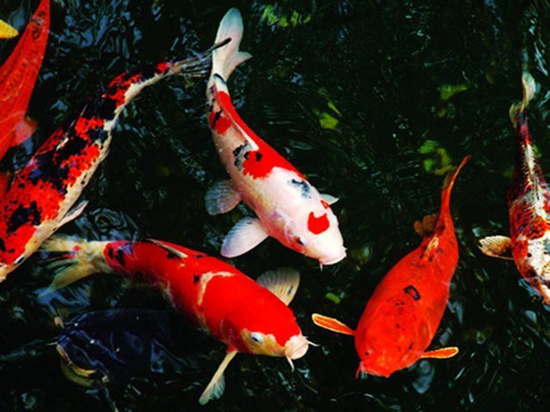 Làm gì khi mua cá Koi sắp sinh sản