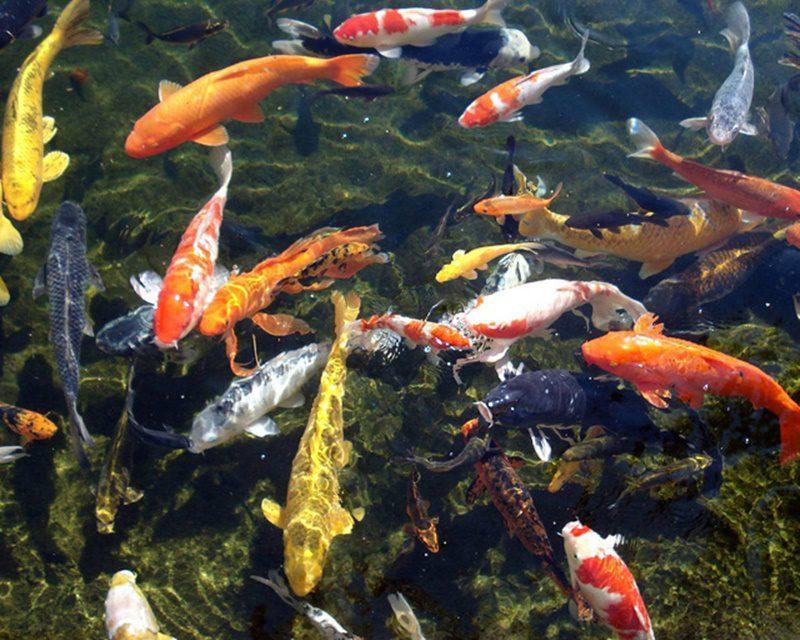 Lọc hồ cá koi sạch đẹp môi trường cho cá.