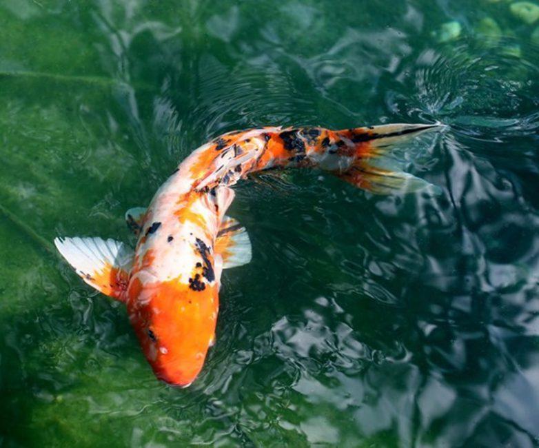 Lọc hồ cá Koi giá rẻ uy tín tại Koithienduong với đội ngũ chuyên nghiệp.