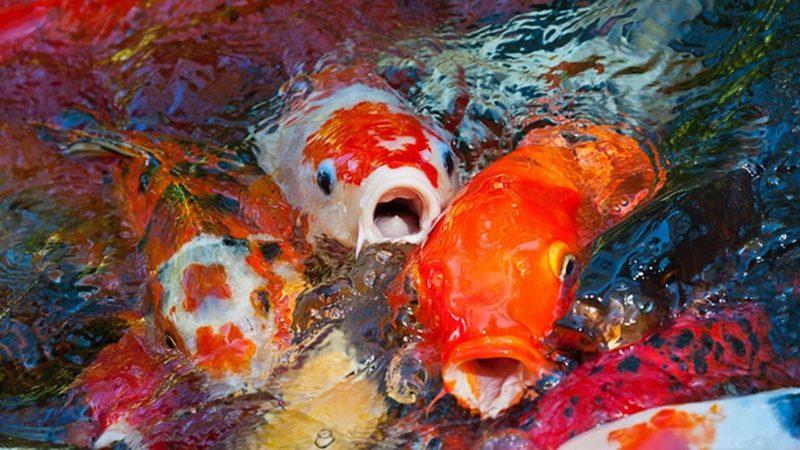 Màu sắc cá koi mang ý nghĩa gì và có bao nhiêu màu