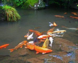 cải tạo hồ cá koi