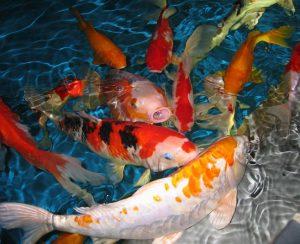 Hồ cá Koi Mini giá rẻ đẹp