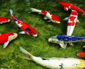 Hồ cá koi trong nhà giá rẻ uy tín.