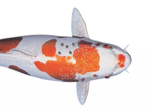 Bệnh đốm trắng ở cá Koi