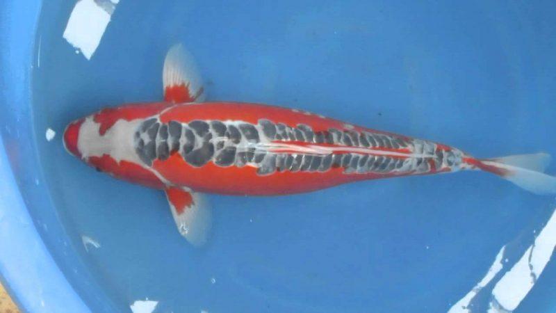Cá Koi Shusui