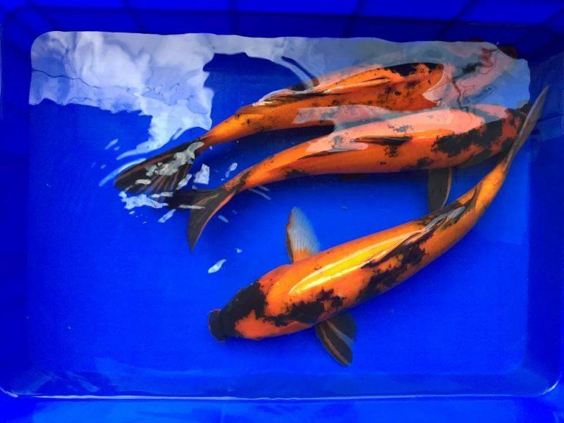 Cá Koi Utsuri