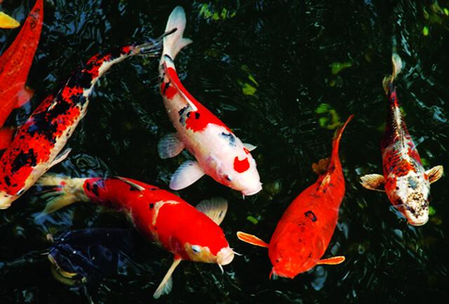 Các giống cá Koi Bướm phổ biến