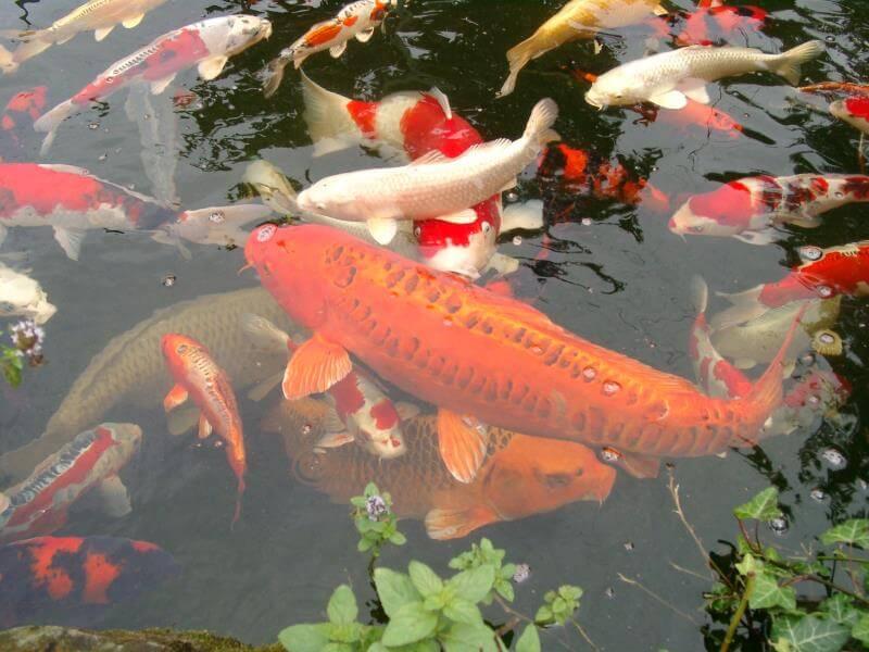 Các tiêu chí lựa chọn cá Koi Bướm chất lượng