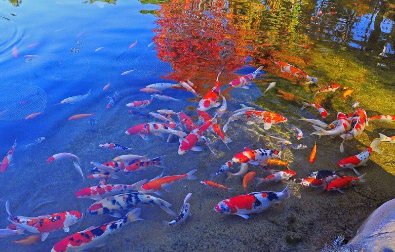 Cách chăm sóc cá Koi để có được vẻ đẹp rực rỡ