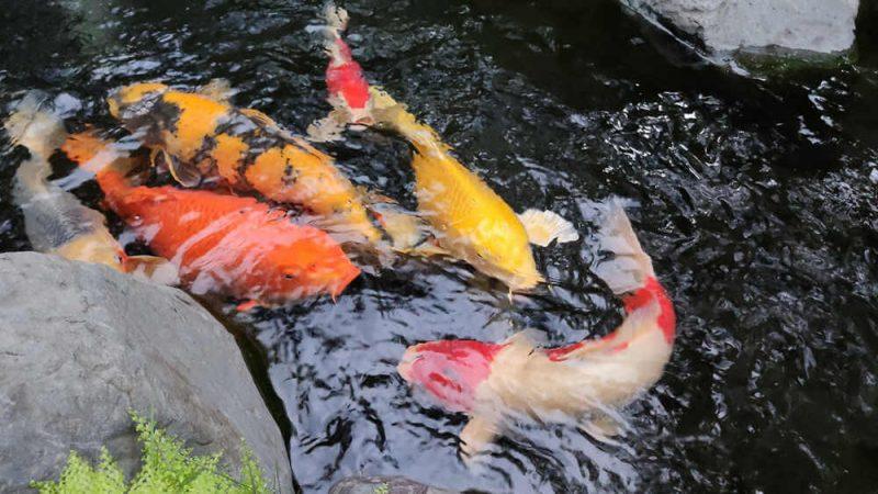 Lý do cá Koi có thể lên đến hàng triệu USD