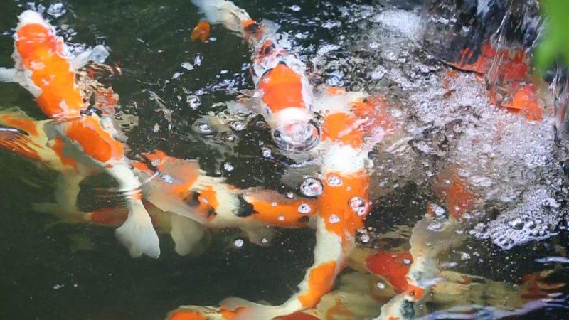 Nuôi như thế nào để cá Koi đẹp và mau lớn