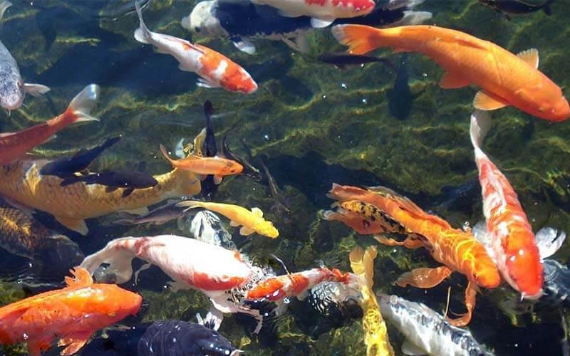Tiêu chí để chọn mua những mẫu cá Koi đẹp