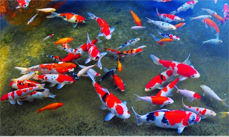 Tìm hiểu chung về cá Koi đẹp
