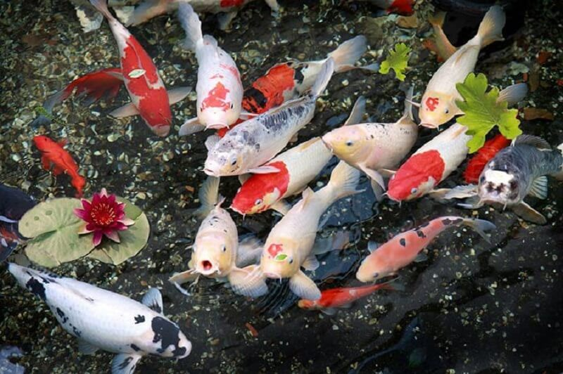 Cá chép Koi Shiro Utsuri à gì?