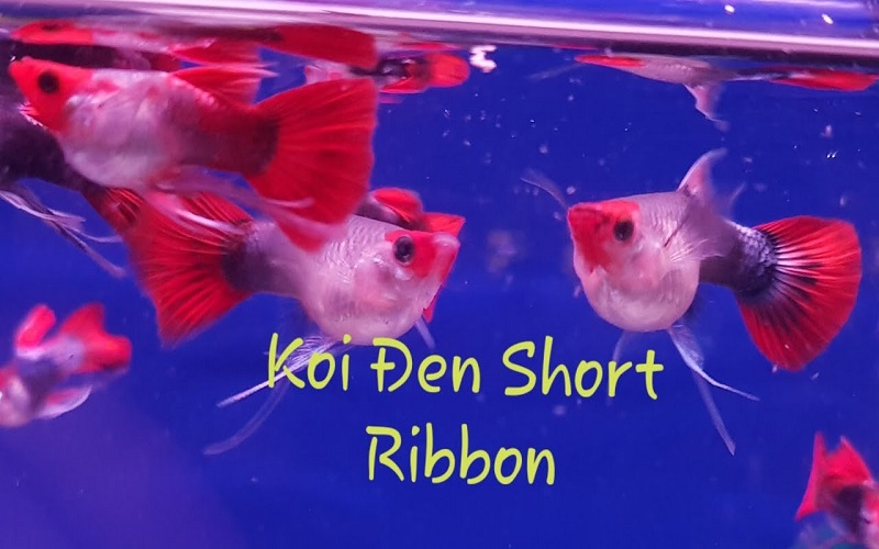 Cá Koi đen short ribbon