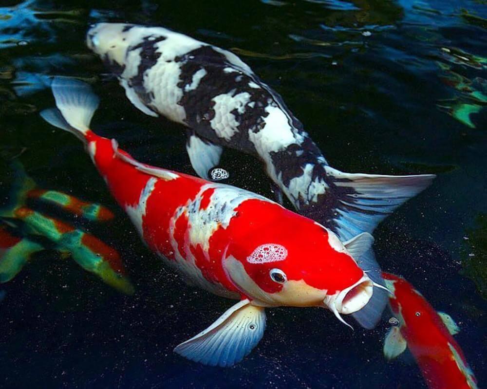 Giá cá Koi nhật lai