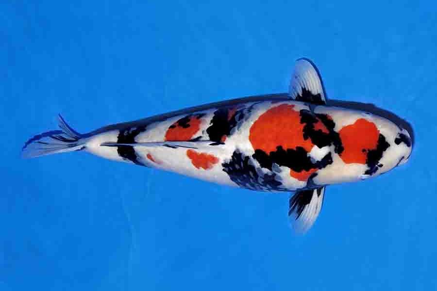 Cá koi Showa Sanshoku