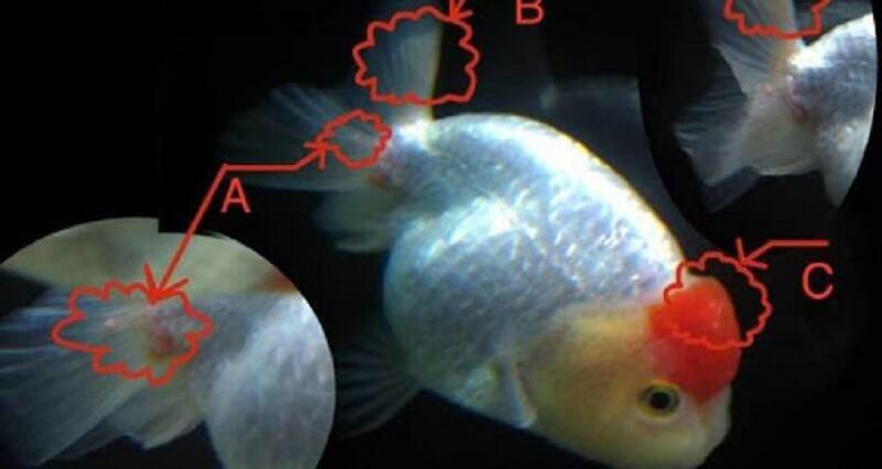Các bệnh thường gặp ở cá bảy màu