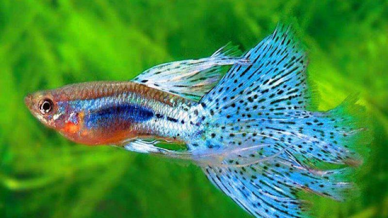 Cách chăm sóc cá bảy màu