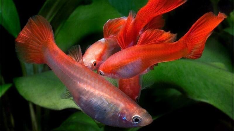 Cách chăm sóc cá bảy màu Koi giai đoạn có con