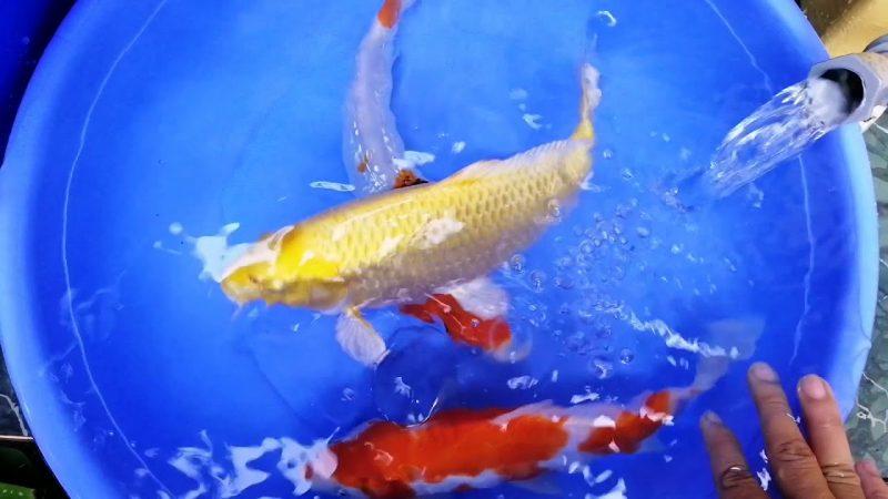 Cách chăm sóc Cá Koi Lai