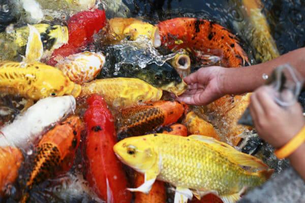Cách cho cá Koi ăn đúng cách