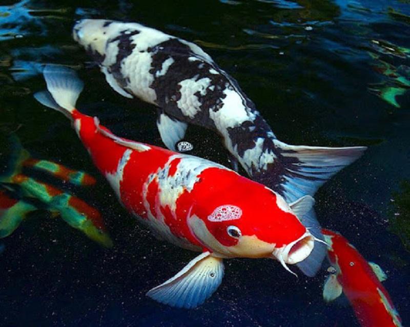 Cách chọn một chú cá Koi Shiro Utsuri đẹp