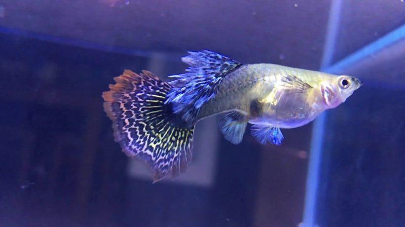 Cách chọn thức ăn cho cá bảy màu Koi lớn nhanh và lên màu đẹp