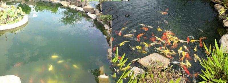 Cách vệ sinh hồ cá giữ nguồn nước trong sạch