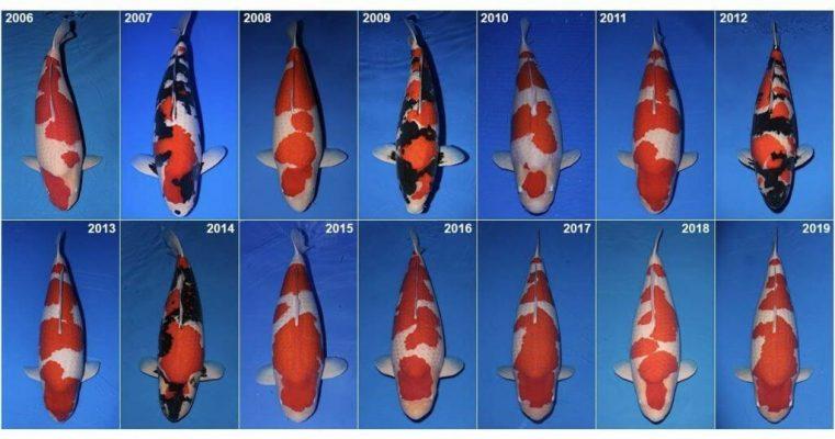 Căn cứ và đâu để lựa chọn một chú cá Koi đẹp