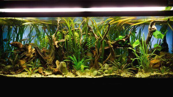 Có nên sử dụng đèn Uv cho hồ cá Koi