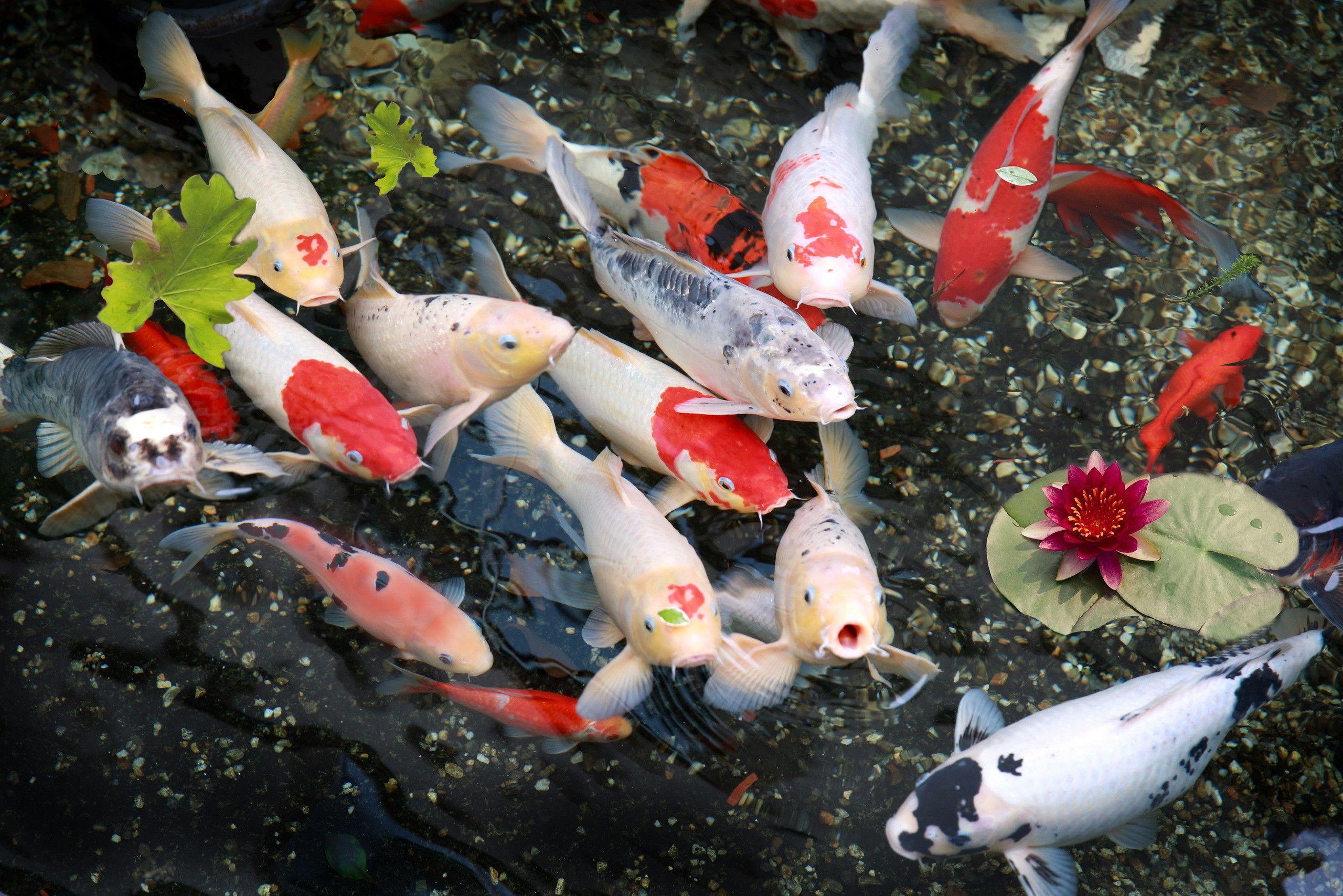 Cung cấp vừa đủ thức ăn cho cá