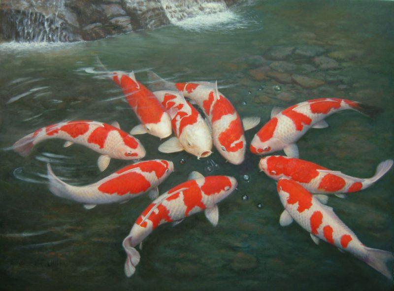 Đặc điểm cá chép Nhật