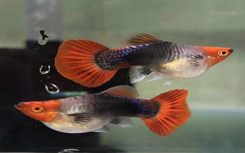 Đặc điểm của cá Koi đen short
