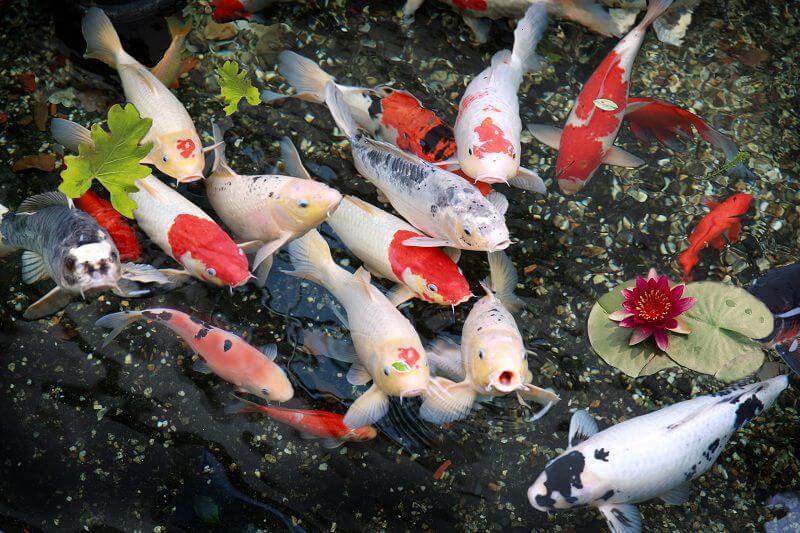 Giá bán cá Koi Nhật lai