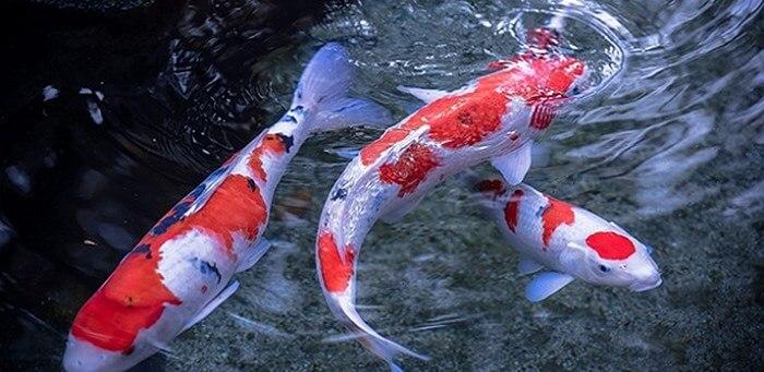 Giá cá chép Nhật nhập khẩu