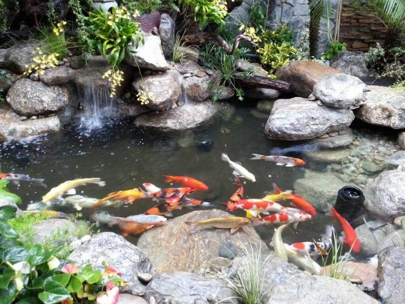 Hồ cá Koi là gì