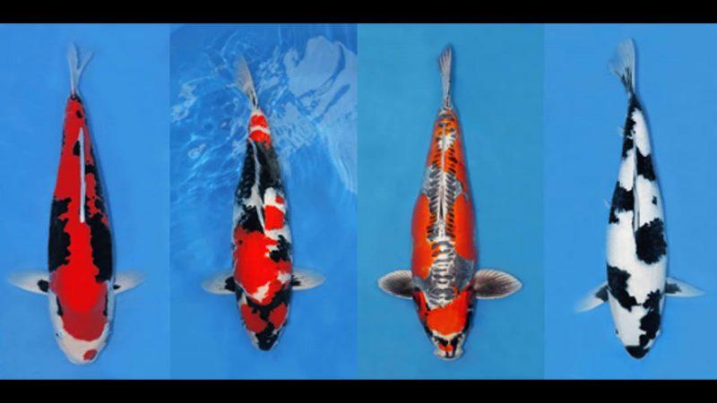 Hướng dẫn phân biệt cá chép Nhật và cá chép thường