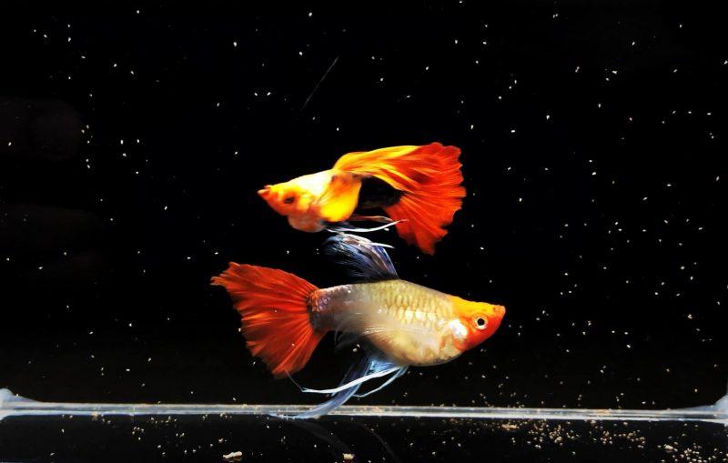 Khái quát về cá bảy màu Koi