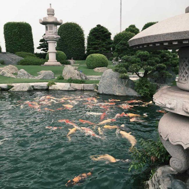 Kinh nghiệm để nuôi cá Koi Nhật Bản theo cách tốt nhất đối với môi trường tại Việt Nam