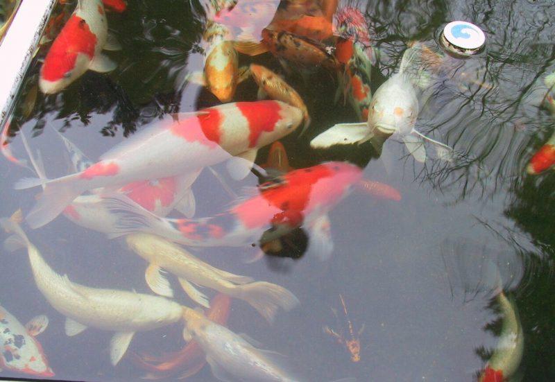 Lí do nên sở hữu một chú cá chép Nhật trong nhà