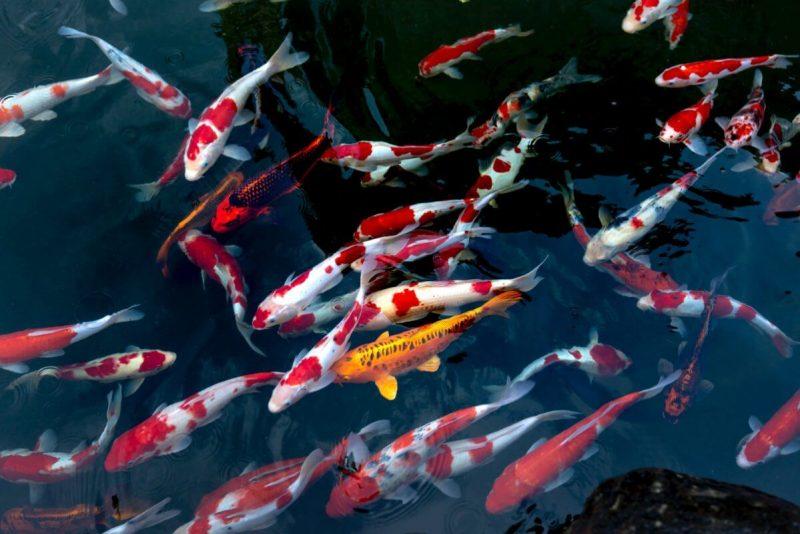 Lịch sử của dòng cá Koi Kohaku