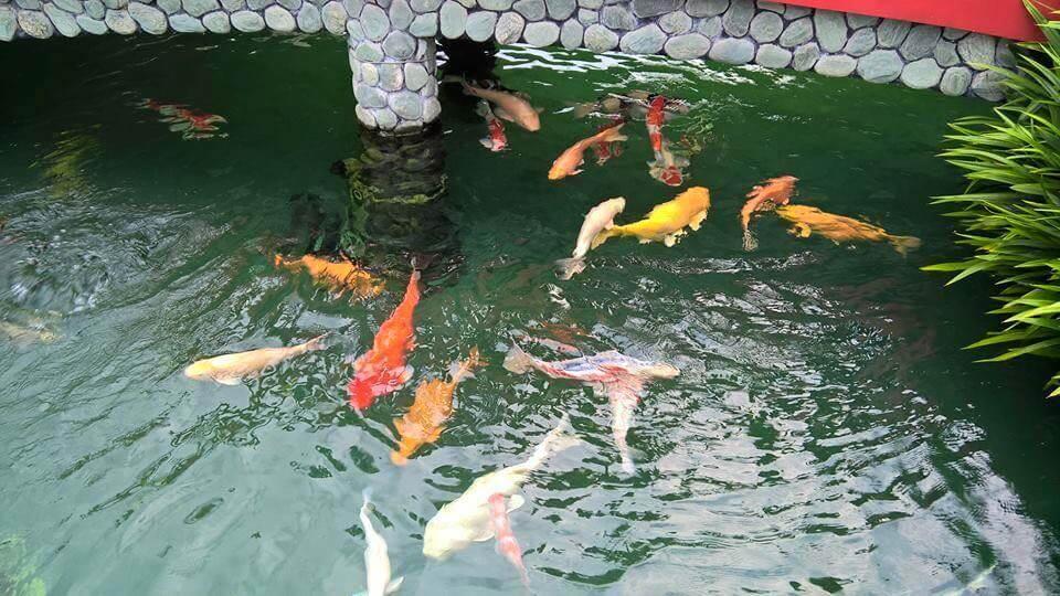 Các lỗi thường gặp khi nuôi cá Koi