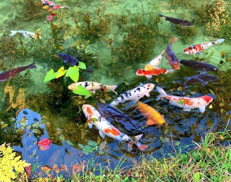Mẫu thiết kế hồ cá Koi mini